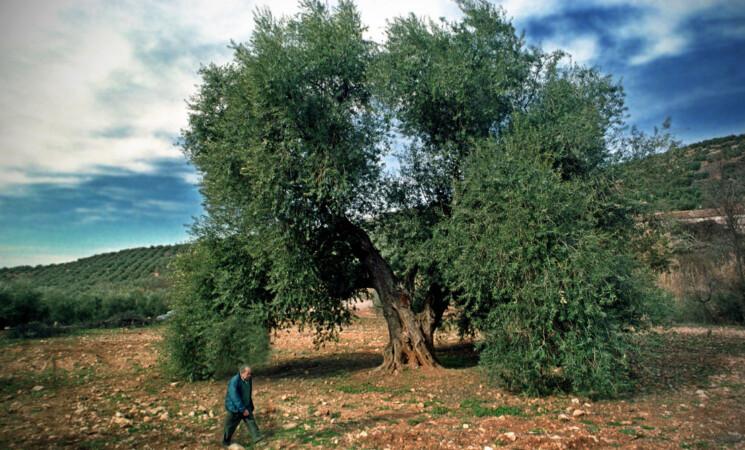 Convocados los premios a la difusión de la cultura del olivo y al mejor olivo monumental de España